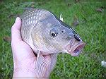 Here's the close up of the 1st Carp I hit on Mono Thorax Dragonfly nymph.